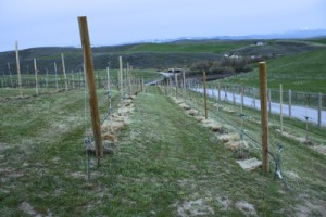 The vineyard - prepared for spring growth