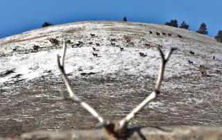 Elk-resize