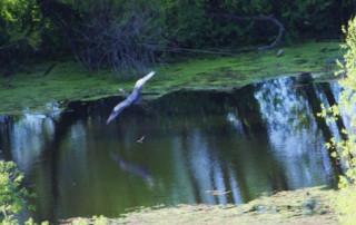 Heron-resize