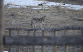 coyote-resize