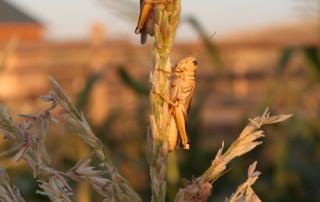 grasshppers-resize