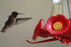hummingbird1-300x206