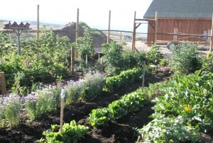 Here is our garden, growing in the manure.